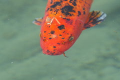 Orange Koi fisk Royaltyfri Bild
