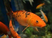 Orange Koi karp Fotografering för Bildbyråer