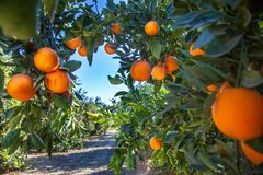 Orange koloni i Kalifornien USA arkivfoto