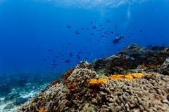 Orange Koralle und Schwämme auf Korallenriff in Karibischen Meeren Stockfotos