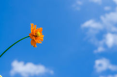 Orange kosmos och blå himmel Royaltyfri Fotografi