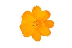Orange Kosmosblume lokalisiert auf weißem Hintergrund Lizenzfreies Stockfoto