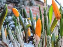 Orange krokus blommar i snön Royaltyfria Foton