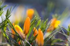 Orange krokus blommar makrosikt Landskap för vårtid Mjuk och suddighetsbakgrund grunt djupfält Arkivbild