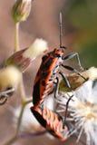 Orange kryp Pentatomidae Fotografering för Bildbyråer