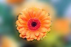 Orange krysantemumblomma som också kallas mor eller chrysanths, blom- ordning, slut upp, isolerad vibrerande blom- bakgrund Royaltyfri Foto