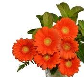 Orange krysantemumvitbakgrund fotografering för bildbyråer