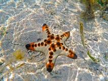 Orange kuddesjöstjärna på vit sand av det tropiska havet i Sanur, Bali ö, Indonesien royaltyfria bilder