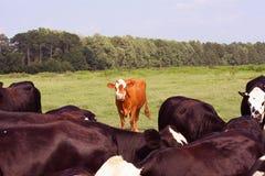 Orange Kuh stockbilder