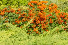 Orange kulöra bär för höst med gräsplansidor på buskar läkare Fotografering för Bildbyråer