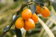 Orange kumquat fruit on the tree Royalty Free Stock Photo