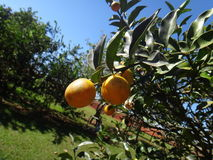 Kumquat tree with fruit and leaves. Orange kumquat fruit on the tree Royalty Free Stock Photography
