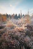 Orange Lärchenbäume am eisigen Herbstmorgen lizenzfreie stockfotografie