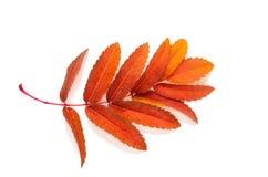 Orange lässt Eberesche mit den Flecken, die auf einem Weiß lokalisiert werden Stockfotos
