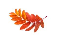 Orange lässt Eberesche mit den Flecken, die auf einem Weiß lokalisiert werden Lizenzfreie Stockbilder