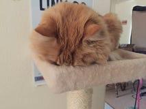 Orange lång hårkatt som sover med framsidan i hörn av katttornet arkivbild