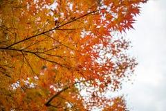 Orange lönnlöv i höstsäsong Arkivbilder