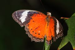 Butterfly - Orange Lacewing - Cethosia penthesilea. Orange Lacewing butterflies are native to the far north of Australia. This is a very tough and active species royalty free stock photography