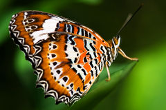 Orange Lacewing Butterfly. On the leaf stock image