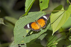 Orange Lacewing Butterfly Stock Photo