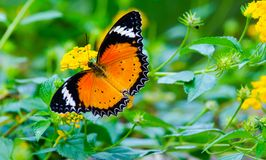 Orange Lacewing Butterfly on yellow flower Royalty Free Stock Photos