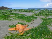 Orange Lacy Starfish, Pisaster ochraceus, on Beach at Florencia Bay, Pacific Rim National Park, British Columbia, Canada. After a stormy night, the high tide stock photography