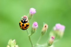 Orange lady bug Royalty Free Stock Images