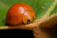 Orange ladybird beetle Royalty Free Stock Photos