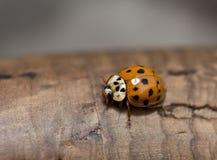 Orange ladybird on brown wood Royalty Free Stock Photo