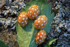 Orange ladybird bugs Royalty Free Stock Photography