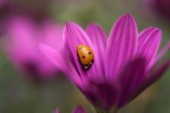 Orange Ladybug Stock Photos