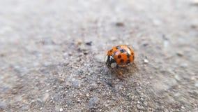 Orange Ladybug Royalty Free Stock Image
