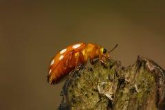 Orange ladybug on branch macro photo Royalty Free Stock Photo