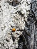 Orange Ladybug on burk Stock Photos