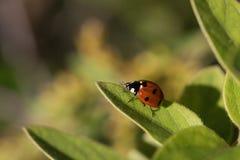 Orange Ladybug Climbing Green Leaf Macro royalty free stock image