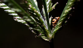 Orange ladybug. Hinds in the grass. Black background Royalty Free Stock Images