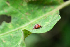 Orange ladybug. On leaves in the forest Royalty Free Stock Photo