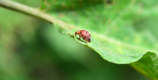Orange ladybug. On leaves in the forest Stock Photography
