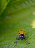 Orange ladybug macro on green background. While looking at you Stock Photos