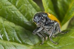 Orange ladybug macro on green background. While looking at you Stock Photo