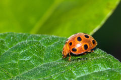 Orange ladybug Masoala Stock Image
