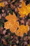 Orange/lames érable de Brown Photos libres de droits