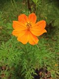 Orange lance-leaved coreopsis Stock Photo
