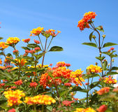 Orange lantana. In full bloom stock photography