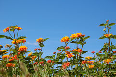 Orange lantana. In full bloom royalty free stock photos
