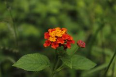 Orange Lantana camara in srilanka. L. camara is rarely found in natural or semi-natural areas of forest, as it is unable to compete with taller trees due to its stock photography