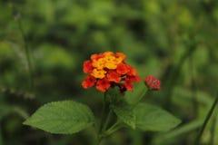 Orange Lantana camara in Sri Lanka stockfotografie