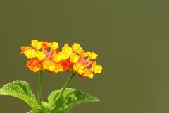 Orange lantana flower. Also known as Lantana camara, big sage, wild sage, red sage, white sage and tick berry, captured under natural environment, green simple royalty free stock images