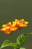 Orange lantana flower. Also known as Lantana camara, big sage, wild sage, red sage, white sage and tick berry, captured under natural environment, green simple royalty free stock image