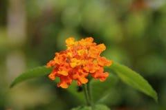 Orange lantana flower. Also known as Lantana camara, big sage, wild sage, red sage, white sage and tick berry, captured under natural environment, green simple stock photos